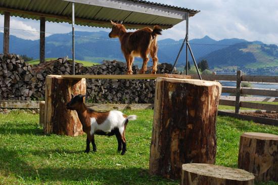 Goats on a visit